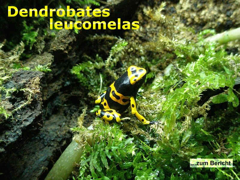 Dendrobates leucomelas - der gelbgebänderte Baumsteiger. Meine Erkenntnisse über deren Haltung und Zucht.